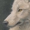 Arctic Wolf - study